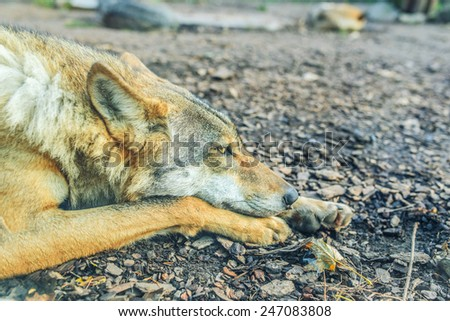Gray wolf also known as timber wolf, or western wolf, is canid native to wilderness and remote areas of North America, Eurasia, and northern, eastern and western Africa. - stock photo
