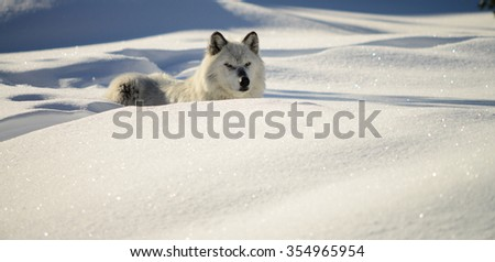 Gray Wolf (canus lupis) resting in a snow bank