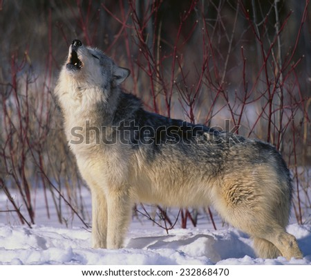 Gray Wolf Howling in Snow - stock photo