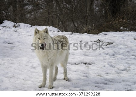 Gray Wolf in the Snow