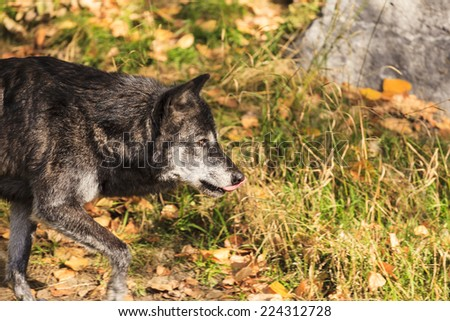Gray wolf in the wild. - stock photo