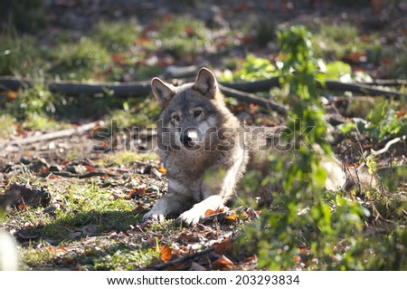 Gray Wolf Laid Down - stock photo