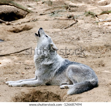 Gray wolf laying down on the ground howling. - stock photo