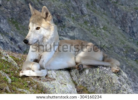 Gray wolf lays on rock in wildness mountains area