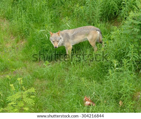 Gray wolf or grey wolf (Canis lupus) in forest