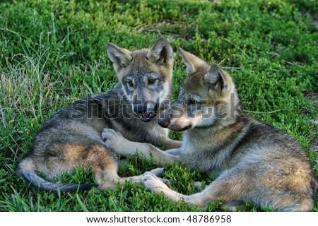 gray wolf pups - stock photo