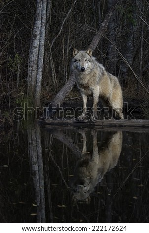 Gray Wolf Reflected in a Pond - stock photo