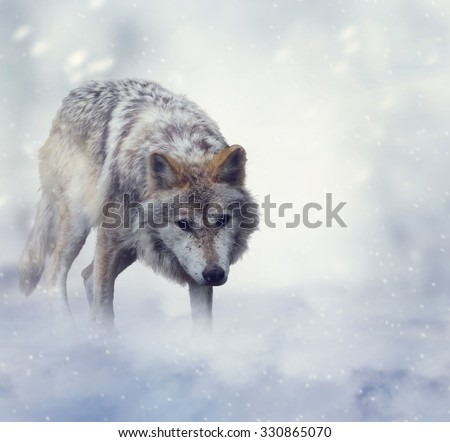 Gray Wolf Walking on the Snow - stock photo
