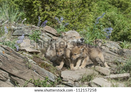 Gray wolf with twin cubs. Montana - stock photo