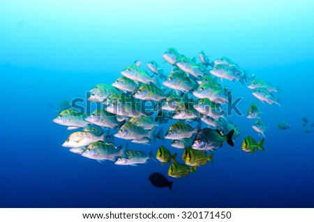 Graybar grunt (Haemulon sexfasciatus), forming a school in a shipwreck, reefs of Sea of Cortez, Pacific ocean. Cabo Pulmo, Baja California Sur, Mexico. Cousteau named it The world's aquarium. - stock photo