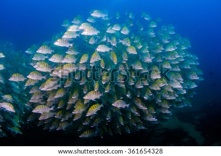 Graybar grunt (Haemulon sexfasciatus), forming a school in a shipwreck, reefs of Sea of Cortez, Pacific ocean. Cabo Pulmo, Baja California Sur, Mexico.The world's aquarium. - stock photo