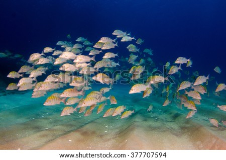Graybar grunt (Haemulon sexfasciatus), forming a school in a shipwreck, reefs of Sea of Cortez, Pacific ocean. Cabo Pulmo, Baja California Sur, Mexico. The world's aquarium. - stock photo