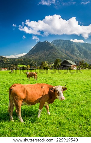 Grazed cows on pasture in the Alps - stock photo