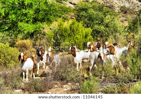 Grazing African goats in mountains. Shot in the Langeberge highlands near Grootrivier river, Garden Route, Western Cape, South Africa. - stock photo