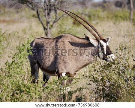 Grazing African Oryx