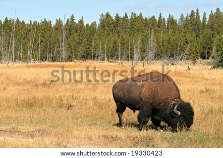 Grazing Bison - stock photo
