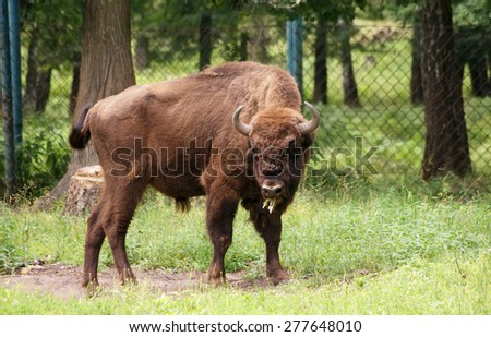 grazing bison - stock photo