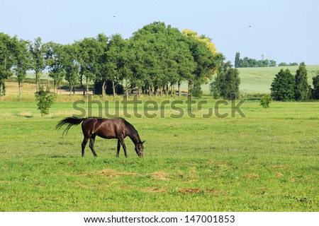 Grazing brown Horse on the green Field