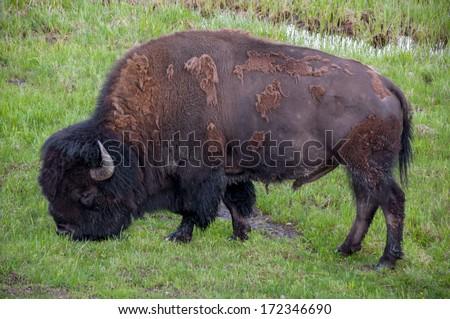 Grazing buffalo - stock photo