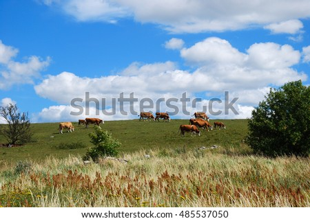 Grazing cattle in a swedish summer landscape at the island Oland, the island of sun and wind