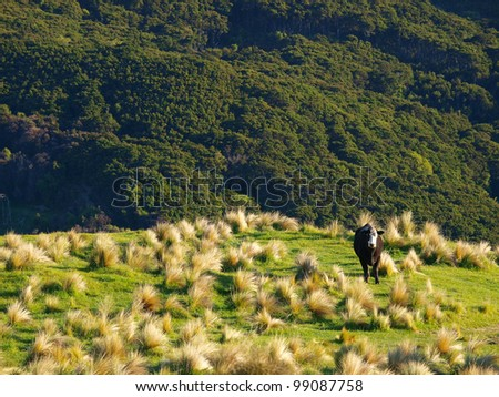 grazing cow in new zealand - stock photo
