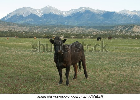 Grazing cow in spring in the collegiate peaks of Colorado's Rocky Mountains, near Salida and Buena Vista. - stock photo
