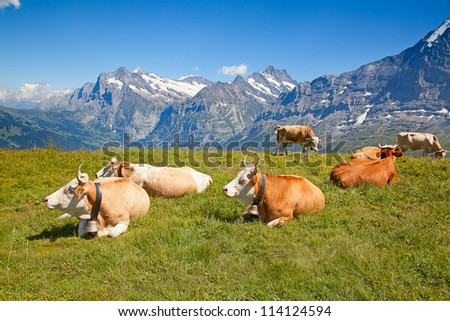 grazing cows in the swiss alps - stock photo
