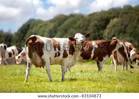 Grazing Cows on the range in summer