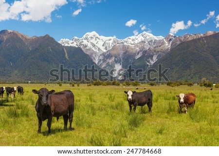 Grazing cows with Southern Alps in the background, South Island, New Zealand - stock photo