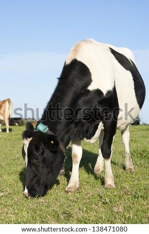 Grazing Dairy Cow - stock photo