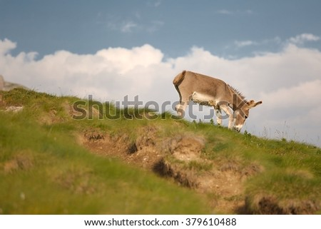 Grazing Donkey in the ALps - stock photo