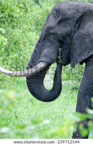 Grazing elephant in the bush. South Africa, Kruger National Park.