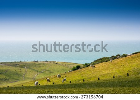 Grazing french Charolais Cattle on the meadow near the ocean in Normandy, France - stock photo
