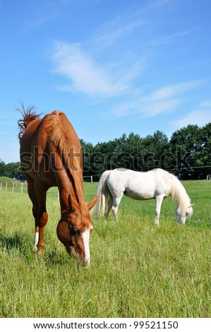Grazing Hanoverian mare and white pony in a pasture. - stock photo