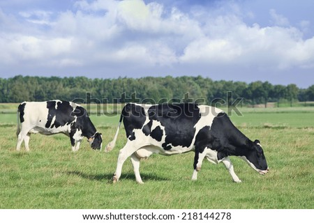 Grazing Holstein-Frisian cows walk in a green Dutch meadow, blue sky and clouds. - stock photo