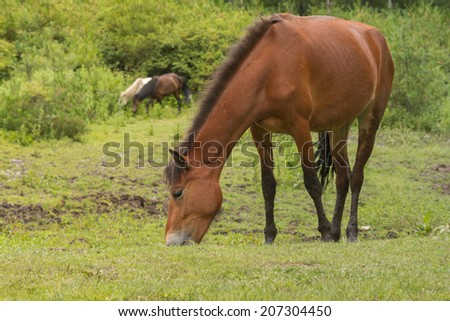 grazing horse in the meadow
