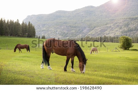 Grazing Horses. At sunset, horses feed in the Methow Valley near the western town of Mazama, Washington.The North Cascade Mountains can be seen in the background. - stock photo