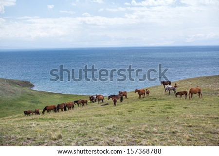 Grazing horses at the lake Song Kul, Tien Shan, Kyrgyzstan - stock photo