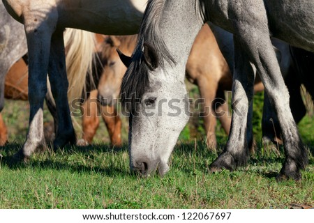 grazing horses on the meadow