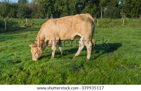 Grazing light brown cow early in the morning on a sunny summer day.