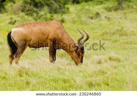 grazing red Hartebeest antelope in long lush grass - stock photo