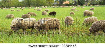 Grazing sheep in a meadow.