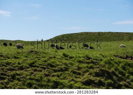 grazing sheep in Ireland - stock photo