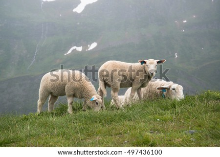 Grazing sheep in Norway mountains