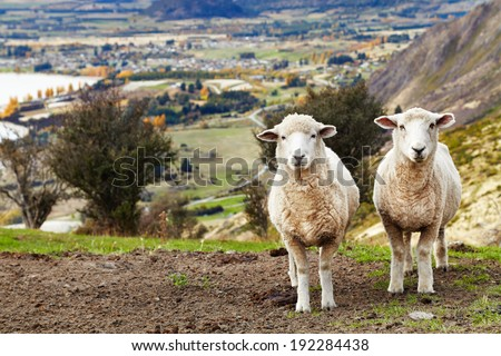 Grazing sheep, mount Roys, Wanaka, New Zealand - stock photo
