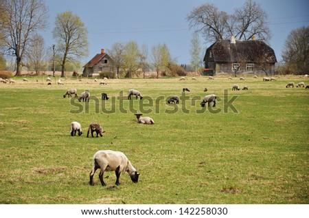 Grazing sheep near the farm - stock photo