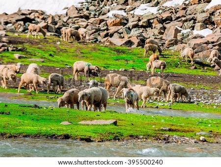 Grazing sheep on a Hill,kashmir - stock photo