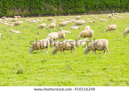 Grazing sheep on a meadow. New Zealand