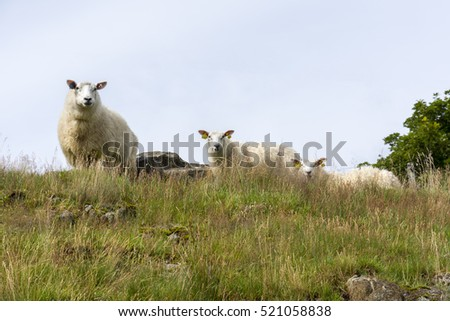 grazing sheep on the coast in Southern Norway