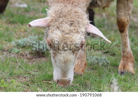 Grazing sheep (Ovis aries) in the spring pasture - stock photo